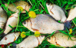 Особенности ловли карася в мае — поплавочная удочка, фидер, донка