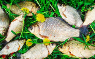 Особенности ловли карася в мае – поплавочная удочка, фидер, донка